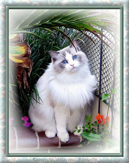 BLUEPOINT BICOLOR RAGDOLL CAT