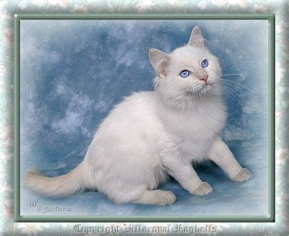 copyright eileen pickett villaroyal ragdolls
