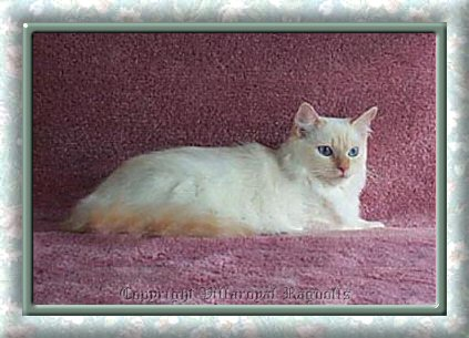 Flamepoint Mitted Villaroyal Ragdoll Cat