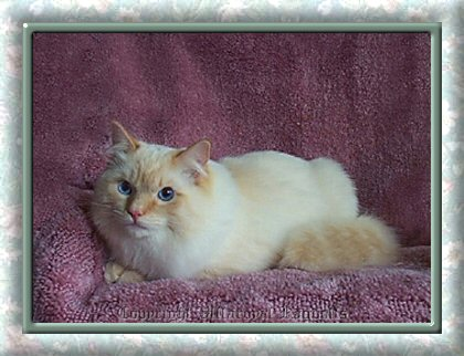 Flamepoint Villaroyal Ragdoll Cat