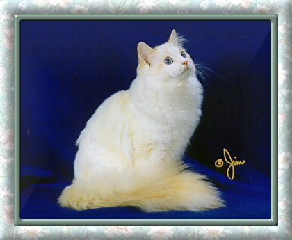 Flame Point Bicolor Ragdoll Cat