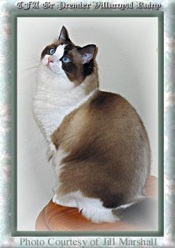 sealpoint-bicolor-ragdoll-cat
