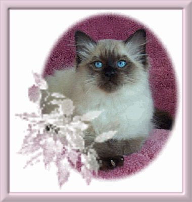 sealpoint-ragdoll-kitten