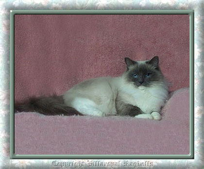 BLUEPOINT MITTED RAGDOLL CAT