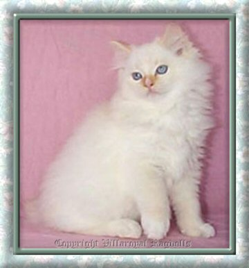 FLAME PT MITTED RAGDOLL KITTEN