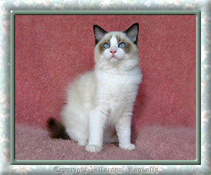 SEALPOINT RAGDOLL KITTEN