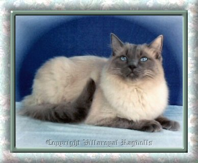 Blue Colorpoint Villaroyal Ragdoll Cat