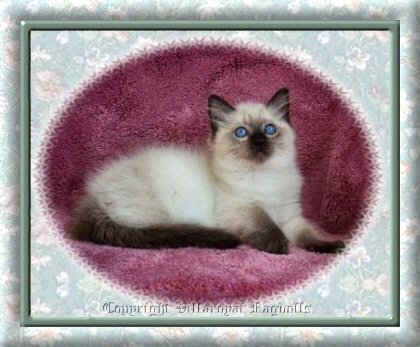 Sealpoint Villaroyal Ragdoll Kitten