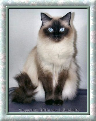 Sealpoint Villaroyal Ragdoll Cat